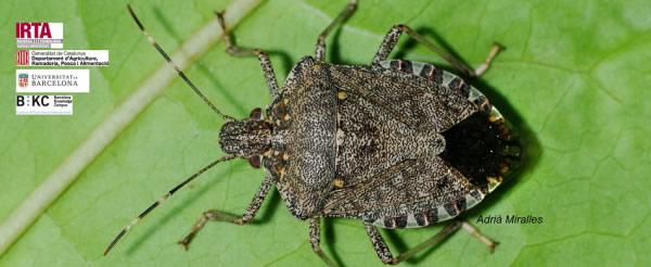 La Bustia insecte