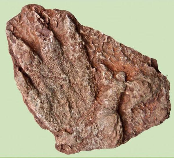 Olesa - La Bustia - petjada fossil 2