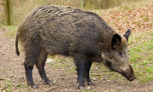 Olesa - la Bustia - atac porc senglar