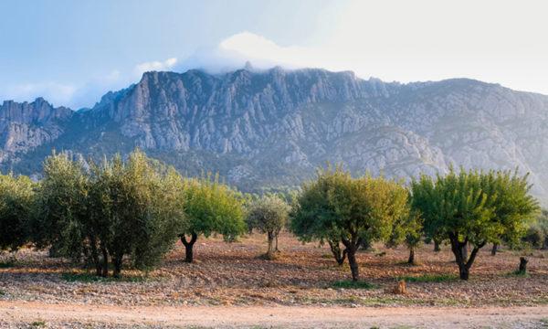 Collbato - La Bustia - oliveres