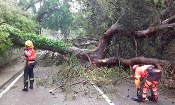 Gelida - La Bustia - arbre caigut