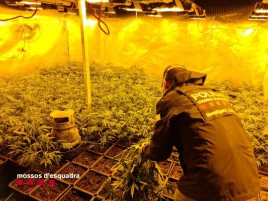 La Bustia marihuana Mossos