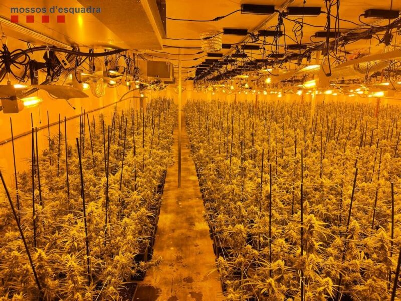 La Bustia plantacio marihuana i detencio 13 setembre Abrera 2