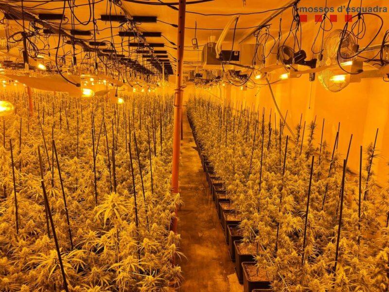 La Bustia plantacio marihuana i detencio 13 setembre Abrera