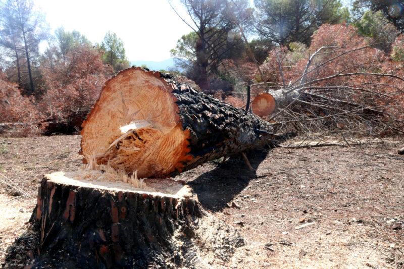 La Bustia reforestacio incendi Castellvi Martorell (2)