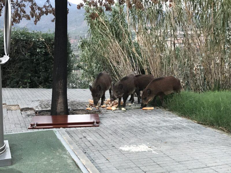 La Bustia porcs senglars Esparreguera finals setembre 2021